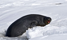 Angry Antarctic Weddell seal Stock Images