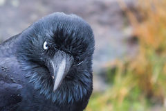 Angry Australian Raven. Australian raven with an angry expression (latin Corvus coronoides royalty free stock photos