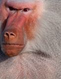 Angry baboon. This baboon doesn't look happy Stock Image