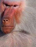 Angry baboon Stock Image