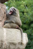 An Angry Baboon Royalty Free Stock Images