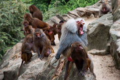 Angry baboon Royalty Free Stock Photos