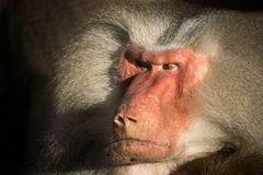 Angry baboon Royalty Free Stock Photo