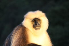 Angry Baboon looking for food Royalty Free Stock Photo