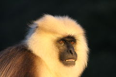 Angry Baboon looking for food Stock Images