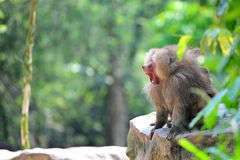 Angry baboon screaming Royalty Free Stock Image
