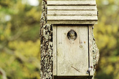 Angry baby bird. An angry looking baby bird, peeking out of his birdhouse Royalty Free Stock Photo