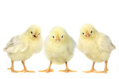 Angry Baby Chicks on White Background Royalty Free Stock Photos