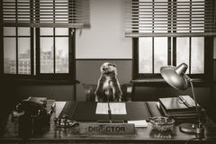 Angry badger boss Royalty Free Stock Images