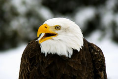 Angry Bald Eagle (Haliaeetus; leucocephalus) Royalty Free Stock Photos