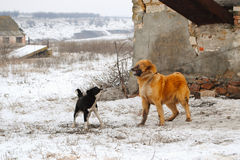 Angry Barking Dogs. Two barking angry dogs on snow in rural environment Royalty Free Stock Images