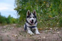 Angry barking huskies. Angry husky barks at other dogs Stock Image