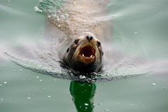 Angry barking sea lion Royalty Free Stock Photo
