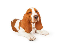 Angry Basset Hound Dog With Squinting Eyes Royalty Free Stock Images