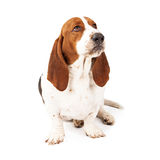 Angry Basset Hound Scowling. An upset Basset Hound dog with a funny look on his face stock photo