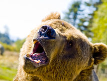 Angry bear. A close up on a big angry bear Royalty Free Stock Image