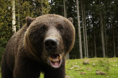 Angry Bear Roars Stock Image