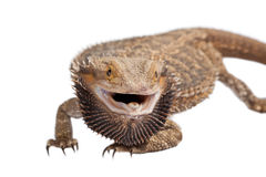 Angry Bearded Dragon Stock Photography