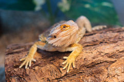 Angry Bearded Dragon royalty free stock photo