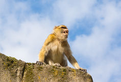 Angry berber monkey Stock Photography
