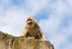 Angry berber monkey Royalty Free Stock Photo