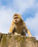 Angry berber monkey Stock Photo