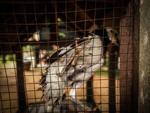 The angry bird in the cage. The living bird in the cage is super unconfortbale, it makes an animal anger all the time Royalty Free Stock Photo
