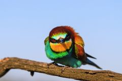Angry bird with a colorful plumage Royalty Free Stock Photo