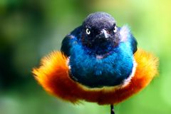 Angry bird. Angry looking shiny and glossy colorful bird with fluffy plumage with a staring glance sitting on one leg Stock Image