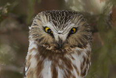 Angry bird-Northern Saw-whet Owl Stock Photos