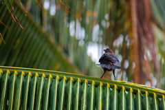 Angry bird on a palm tree. Branch Stock Photos