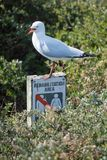 Angry Bird Seagull Tells Humans Keep Out. A Silver Gull appears to tell humans to `keep out!` of its nesting grounds on Penguin Island, Western Australia Stock Image