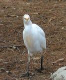Bibulous ibis aka, Cattle Egret, funny Angry bird Royalty Free Stock Image