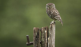 Angry bird. A wild little owl sitting on an old post looking angry Stock Photography