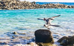 Angry birds in Aruba, Baby Beach. Angry birds Stock Images