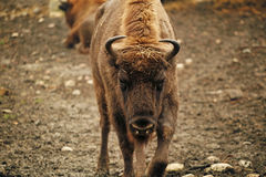 Angry bison Stock Photos