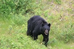 Angry Black Bear. A black bear walking towards the camera with an angry look Stock Image