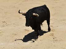 Angry black bull. Bull in spain running in spanish bullring with big horns Stock Image