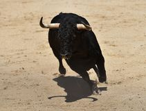 Angry black bull. Bull in spain running in spanish bullring with big horns Stock Images