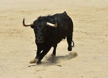 Angry black bull. Bull in spain running in spanish bullring with big horns stock photo