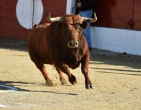 Angry black bull. Bull in spain running in spanish bullring with big horns royalty free stock photos