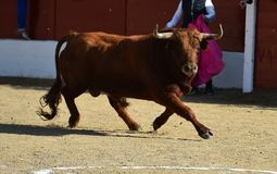 Angry black bull. Bull in spain running in spanish bullring with big horns royalty free stock images