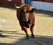 Angry black bull. Bull in spain running in spanish bullring with big horns royalty free stock photo