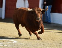 Angry black bull. Bull in spain running in spanish bullring with big horns stock photos