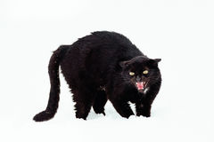 Angry Black cat on a snow Royalty Free Stock Photo