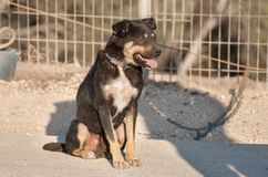 Angry, chained dog at Negev desert. Angry, black chained dog at Negev desert stock images
