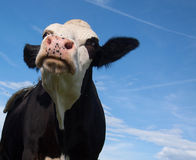 Angry black cow Royalty Free Stock Photos