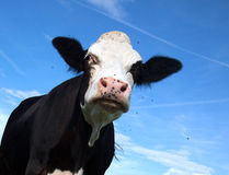 Angry black cow Stock Photography