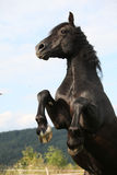Angry black horse on pasturage Royalty Free Stock Photo