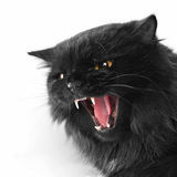 Angry black persian cat. On white background royalty free stock photo